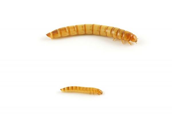 Mehlwürmer (Tenebrio Molitor)